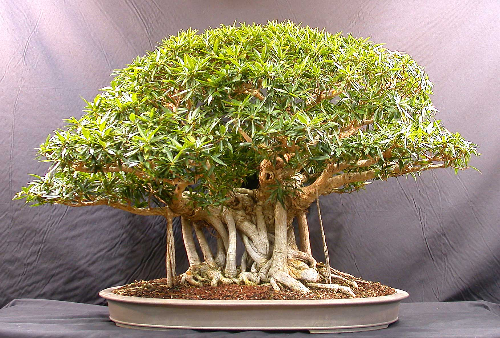 Banyan bonsai daybreak magazine for Vendita online bonsai