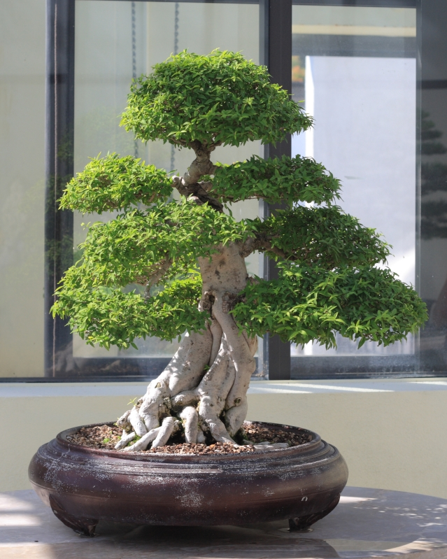 Water_Jasmine_bonsai